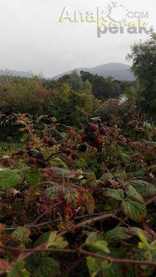 Pokok blackberry